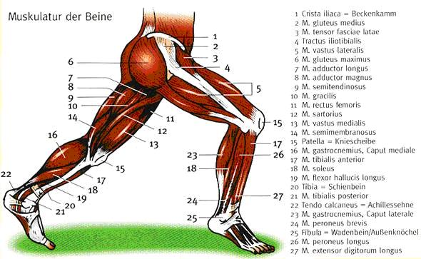 muskulatur-beine